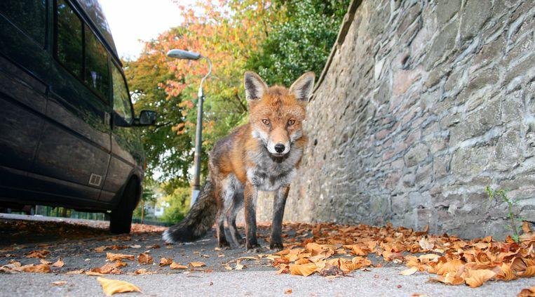 Een vos in de Britse stad Bristol. Beeld Getty Images