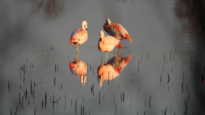 De roze pechvogels van Zwillbrock: broedseizoen alweer mislukt
