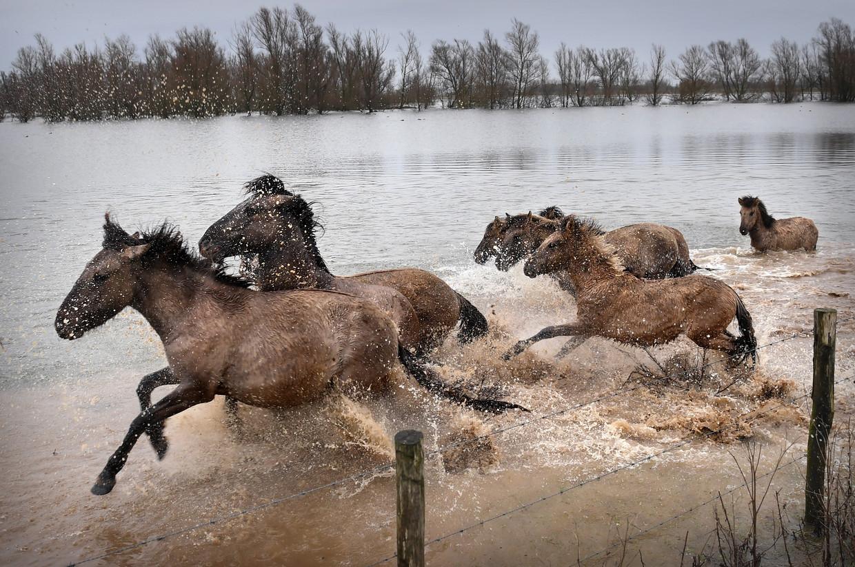 Kuddebeheerders verplaatsen elk jaar met vrijwilligers stieren, koeien en paarden naar hoger gelegen gebieden. Beeld Marcel van den Bergh / de Volkskrant