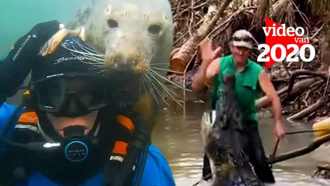 Van photobombende zeehond tot Aussie die enorme krokodil plaagt: de beste momenten van 2020 waarop wilde dieren echt iets te dicht kwamen