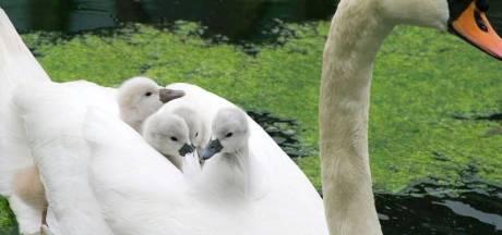 Dieven van zwaneneieren weer actief in Lelystad: 'Zwanen in sommige landen een delicatesse'