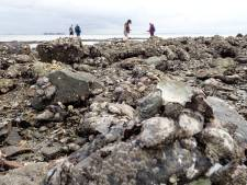 Schelpdiertoerisme overspoelt de Oosterschelde: 'Het is bijna oesters róven'