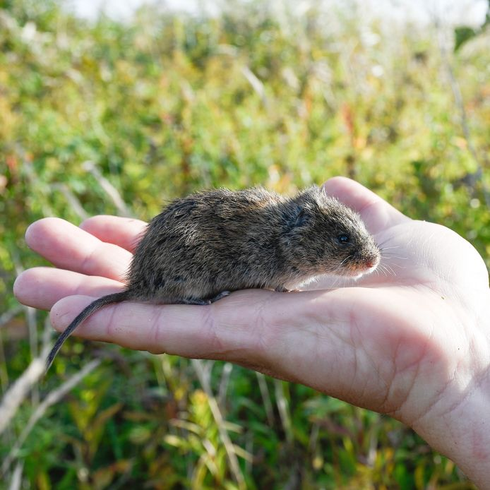 De noordse woelmuis kan dan ook goed zwemmen en heeft in tegenstelling tot andere muizensoorten geen moeite met natte voeten. Vandaar dat deze soort zich prettig voelt in de Delta en dus ook op Tiengemeten.