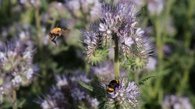 """'Week van de bij' in Moerbeke: """"Zaai bloemen- en bijenplanten in de berm of je tuin"""""""