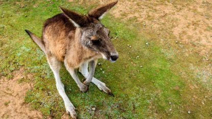 Iemand zijn kangoeroe kwijt? Er huppelt al drie weken lang eentje rond in Kruishoutem