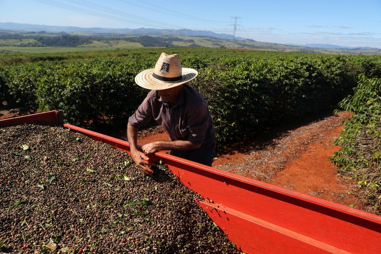 De koffie-oogst wordt binnengehaald op een plantage in de Braziliaanse deelstaat Sao Paulo. Westerse supermarkten zijn medeverantwoordelijk voor de arbeidsomstandigheden in landen die grondstoffen produceren. Beeld Reuters