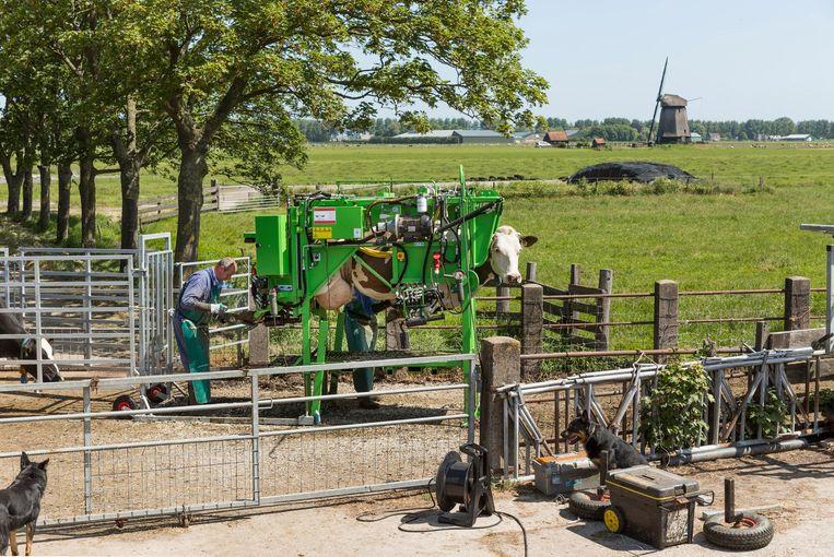 Voor zijn fotoserie over de koe bezocht Hans van der Meer boerderijen in onder meer Dalfsen, Zuidschermer en Zuiderwoude Beeld Hans van der Meer