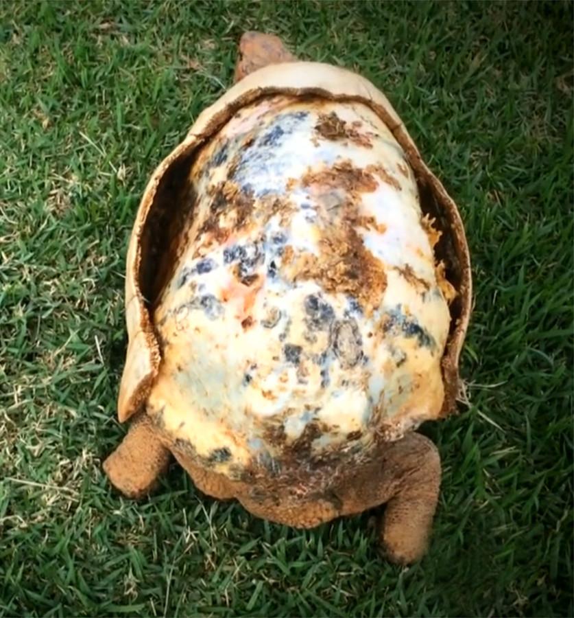 De arme Freddy was door een bosbrand het grootste deel van zijn schild kwijtgeraakt.