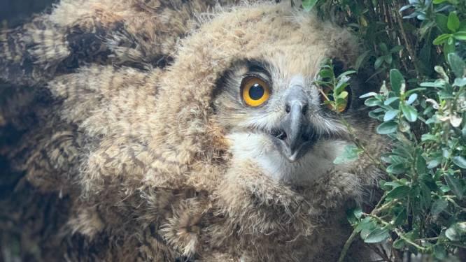 Opnieuw oehoe-kuikens op balkon in centrum van Geel: diertjes worden maandag opgehaald door Natuurhulpcentrum