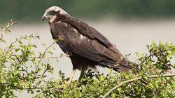 Veldwachter ziet roofvogels als concurrenten... En dus gaf hij ze vergif