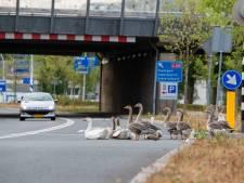 Geplaagde Zwolse ganzenfamilie emigreert naar Drenthe