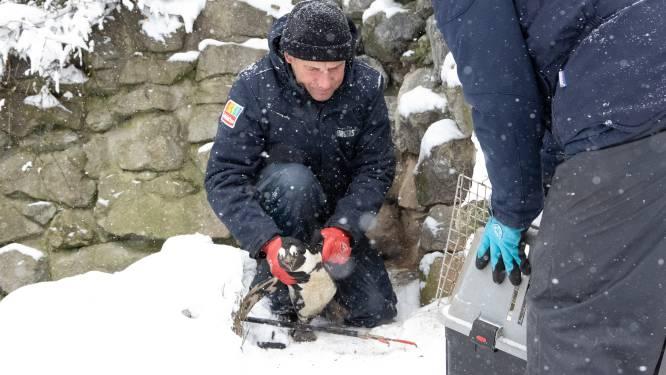 Eenzame pinguïns Burgers' Zoo naar binnen vanwege... kou