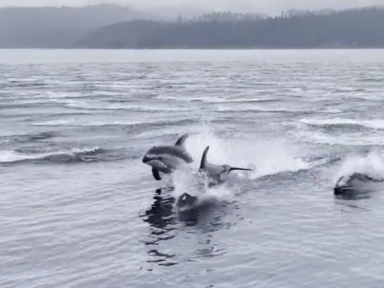 Spectaculaire beelden van 150 dolfijnen die vluchten voor hun leven