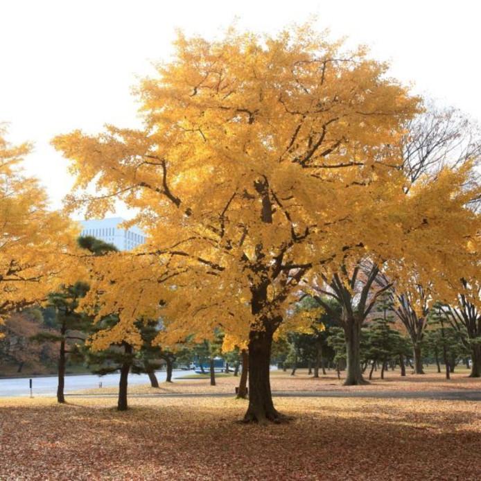Een volwassen Ginkgo-boom.