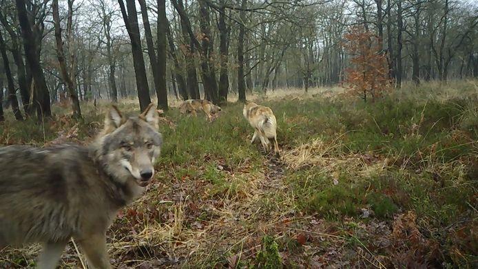 Een deel van de wolvenroedel op de nieuwste beelden vanaf de Noord-Veluwe.