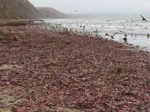 """Des milliers de """"poissons pénis"""" s'échouent sur une plage de Californie"""