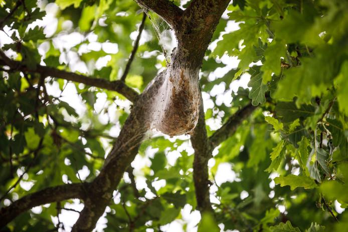 Een nest met eikenprocessierupsen in Ommen. Een vrouwtjesvlinder kan 100 tot 200 eitjes afzetten. Hieruit kruipen in het voorjaar rupsen.