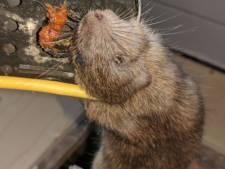 Rattenoverlast in Deventer neemt flink toe