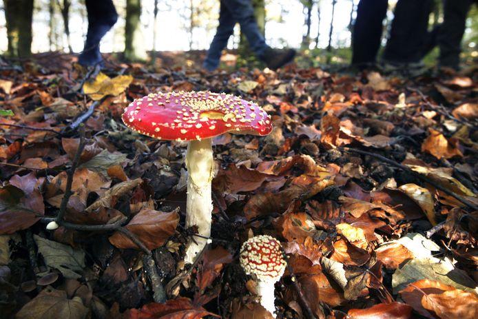 Op zoek naar kabouter Spillebeen? Je moet wel héél goed zoeken om de welbekende paddenstoel met rood met witte stippen te vinden.