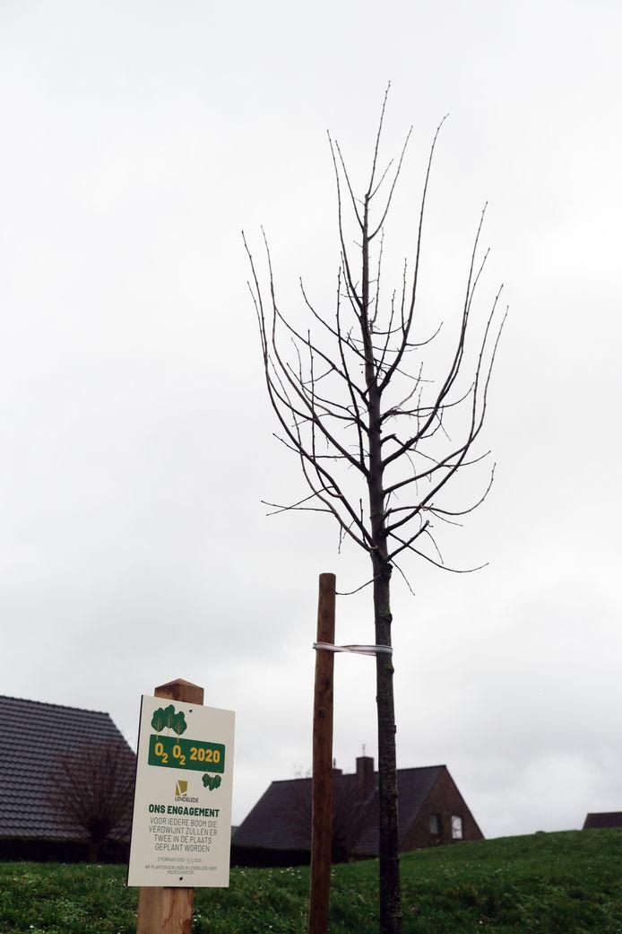 Illustratiefoto van een nieuwe lindeboom (niet in Brielmolenstraat)