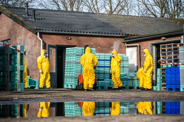 Medewerkers ruimen kippen in het Nederlandse Sint-Oedenrode, nadat daar op 20 februari vogelgriep werd vastgesteld. Beeld Rob Engelaar