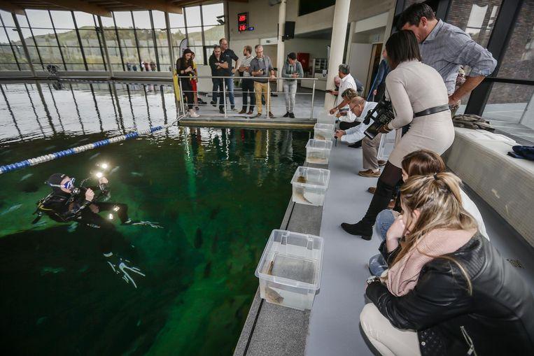 De meters en peters van de Tetraodon Mbu's, TODI's nieuwste aanwinst, laten de kogelvissen vrij in het duikbassin.
