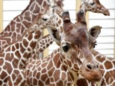 'Giraf doden heftig? En die Bambi bij Lidl dan?'