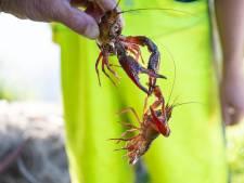 Duizenden rivierkreeften uit stadsvijver gevist voor enkele reis restaurant: 'Je kunt er bijna prijsvissen'