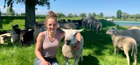 Herderin Henrieke (23) hoedt en melkt haar honderden schapen in Nieuwpoort