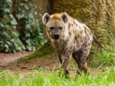 Hyena in voorjaar kort ontsnapt uit DierenPark Amersfoort