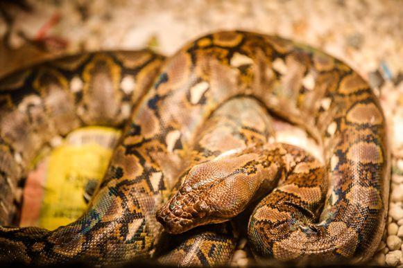 Een ander exemplaar van Davy Malfait, een netslang. De grootste slangensoort ter wereld.