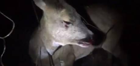 Hartverscheurende beelden van stervend hert, Brabantse boswachter boos: 'De chauffeur liet haar zo achter'