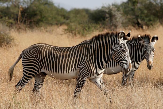 Zebra's in Kenia.