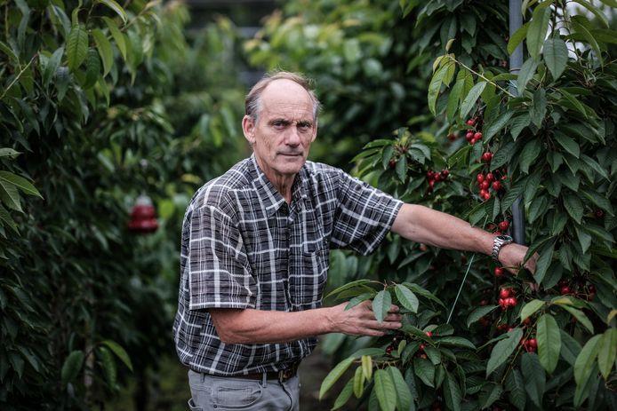 Bert Neijland tussen zijn kersenbomen.