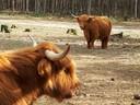 Schotse Hooglanders op de Lieropse Heide.