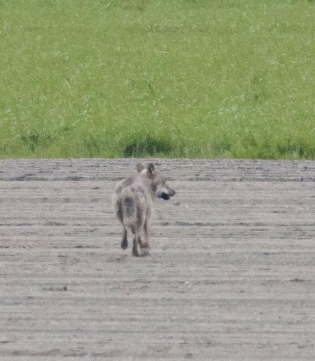 Na onderzoek kadavers en foto's: West-Brabant kreeg écht bezoek van wolf, maar schapen zijn waarschijnlijk doodgebeten door een hond