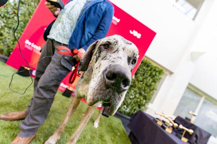 Smoske, een Duitse dog, werd door radiozender Joe uitgeroepen tot grootste hond van Vlaanderen.