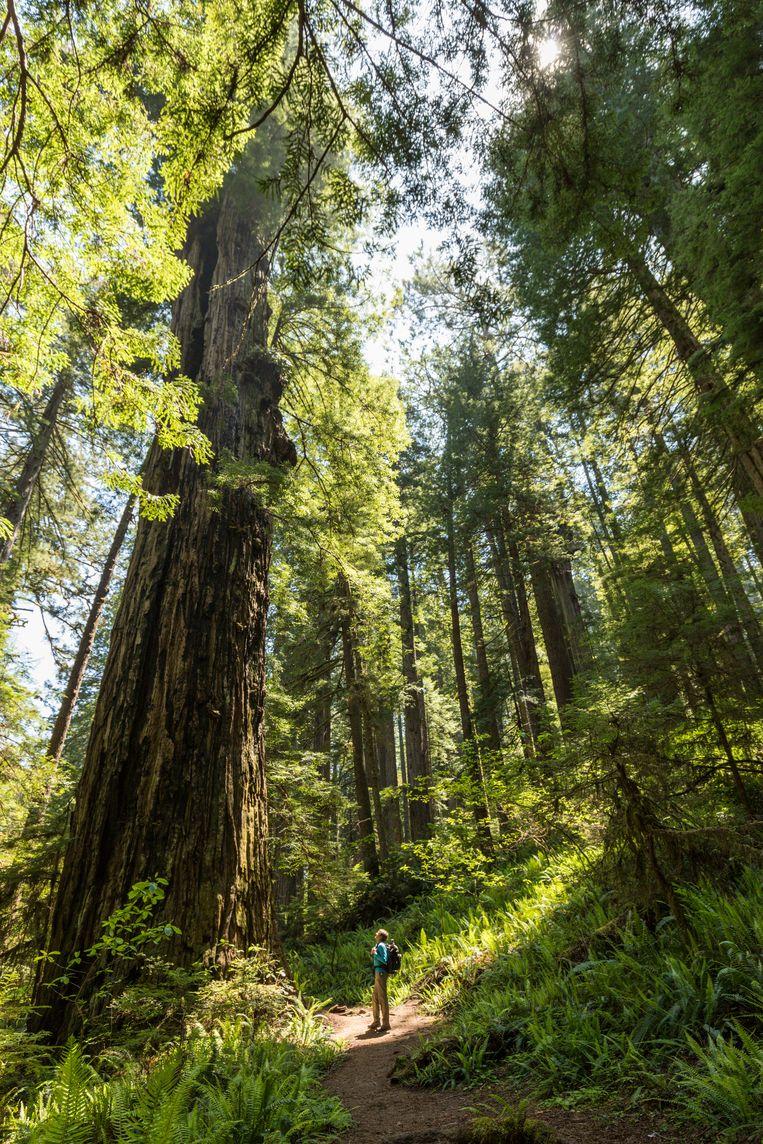 The Redwood Empire, Wandelen tussen kerktorens van schors en hout. Beeld JONATHAN VANDEVOORDE