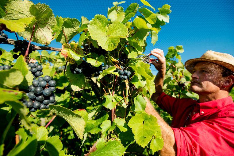 De oogst van Nederlandse wijndruiven bij biologische wijngaard Domein Hof te Dieren. Archiefbeeld. Beeld ANP ROBIN VAN LONKHUIJSEN