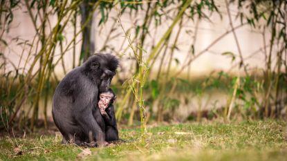 """Ontsnapt aapje Planckendael weer herenigd met familie. """"De kleine avonturier zette even de hele dierentuin op z'n kop."""""""