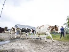Eindelijk hogere temperaturen! Koeien gaan dansend naar buiten in Hertme