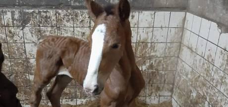 Vier merries overleden na eten vingerhoedskruid: ramp voor Doornspijkse paardenfokker