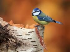 Deze vogels geven kleur aan de grauwe winterdagen