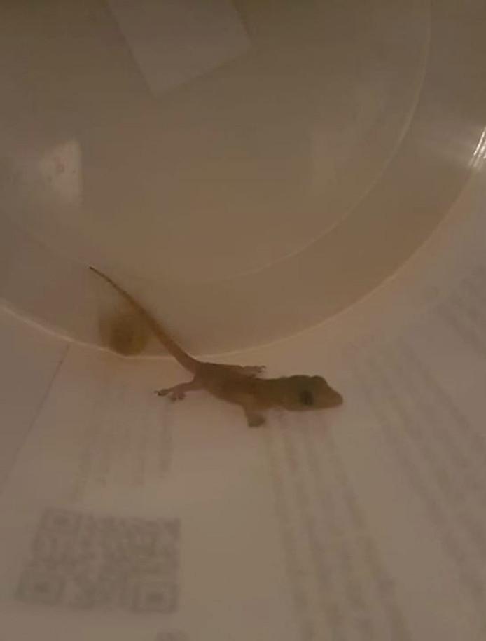 Een gekko, vermoedelijk uit Taiwan, werd aangetroffen bij een bedrijf in Luyksgestel.