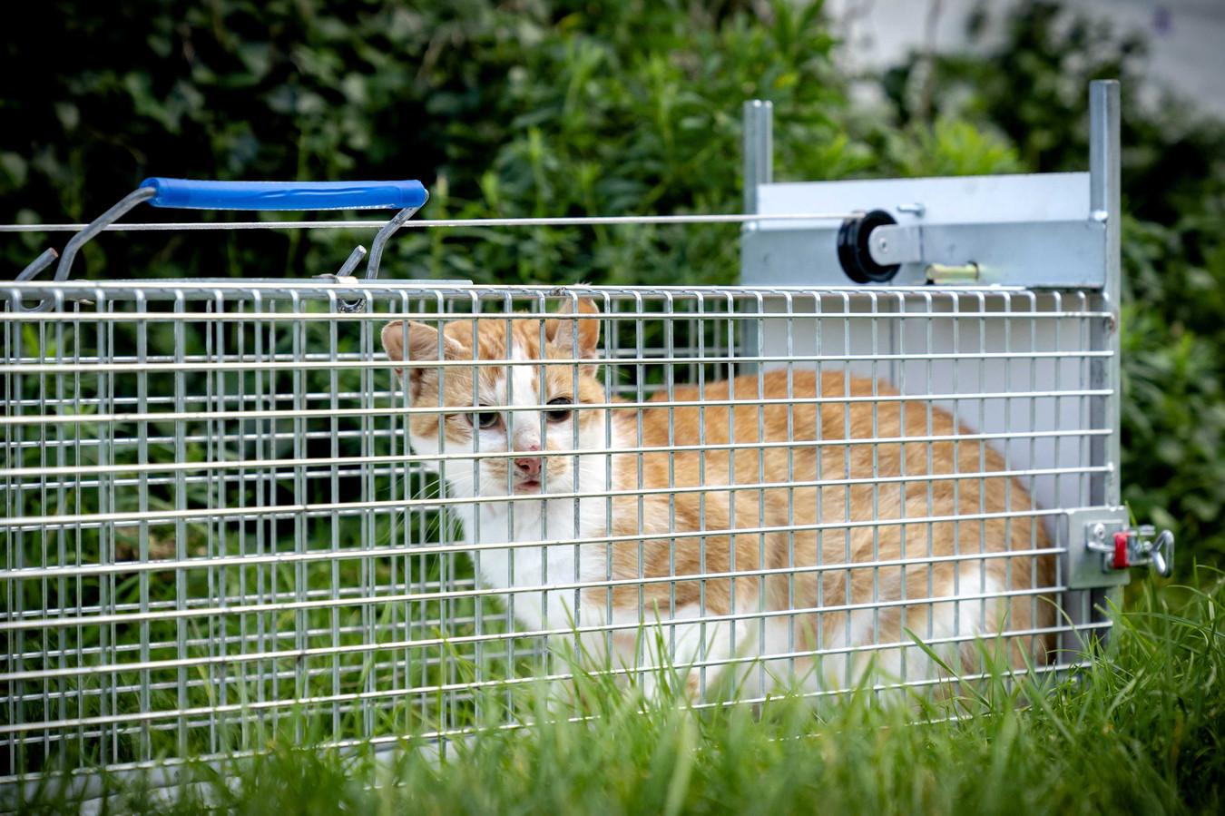 Een gevangen, verwilderde kat