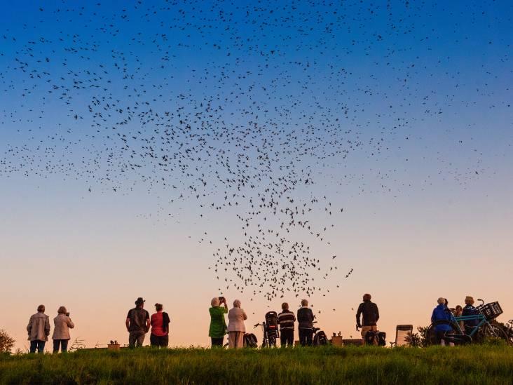 Prachtig! Honderdduizend spreeuwen geven dagelijks een spectaculaire luchtshow: 'Ik blijf ernaar kijken'