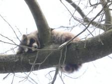 Nieuwsoverzicht | Wasbeer duikt op in boom in Vught - Twintig arrestaties bij demonstratie Extinction Rebellion