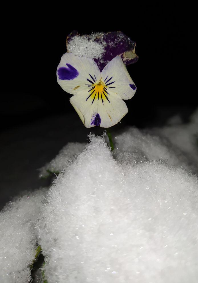 Het laatste viooltje in de tuin in Nijmegen.