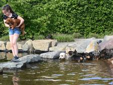 Teckels stoeien en ravotten bij zwemvijver Ut Poeleke: 'Het zijn wel karaktertjes hoor'