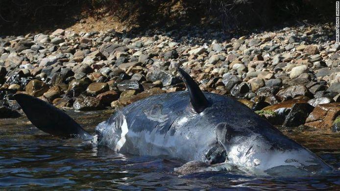 Onderzoekers vonden 22 kilogram plastic en een dode foetus in de buik van het aangespoelde dier.
